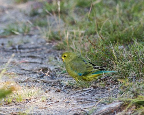 Blue Winged Parrot, Bunyip State Forest, Victoria - 27 Dec, 2014