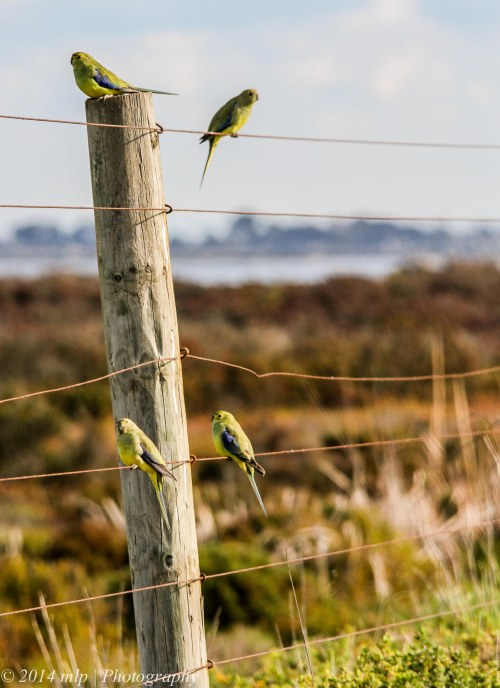 Blue Winged Parrots, Western Treatment Plant, Weribee, Victoria - 22 Aug, 2014