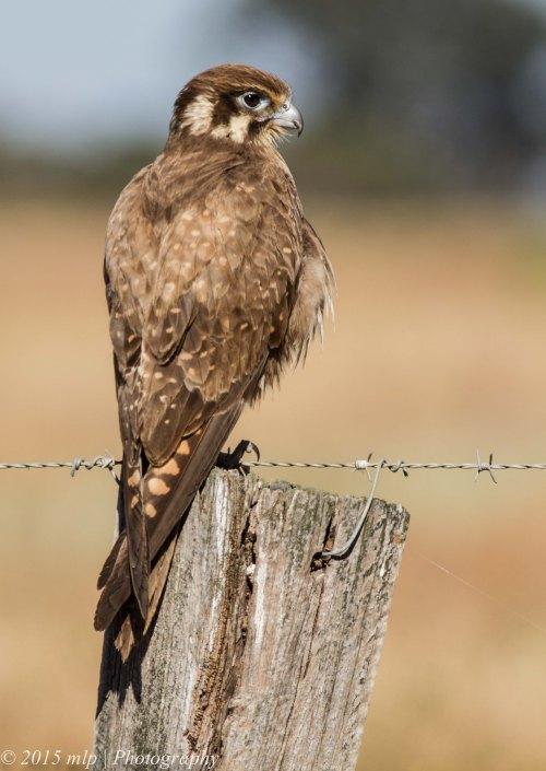 Brown Falcon, Western Treatment Plant, Werribee - 19 Nov 2014