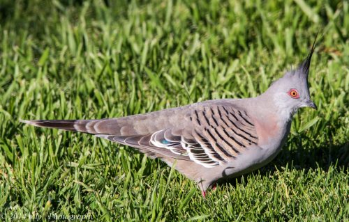 Crested Pigeon, Elwood, Vic - 3 Sep 2014