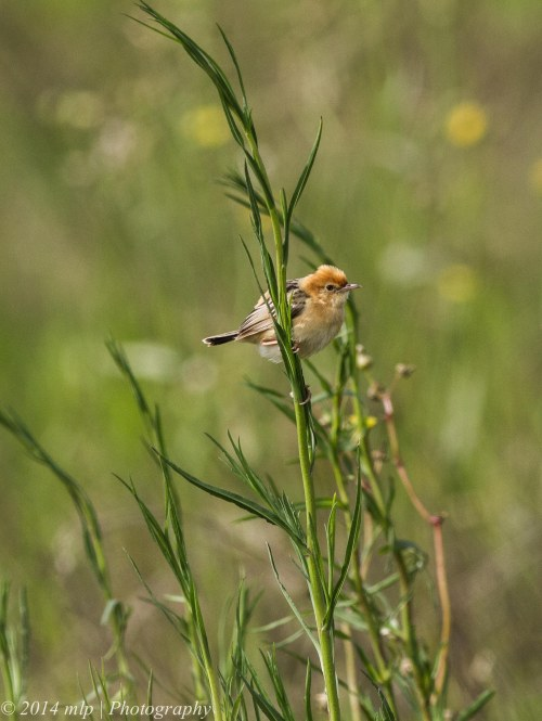 Golden Headed Cisticola,