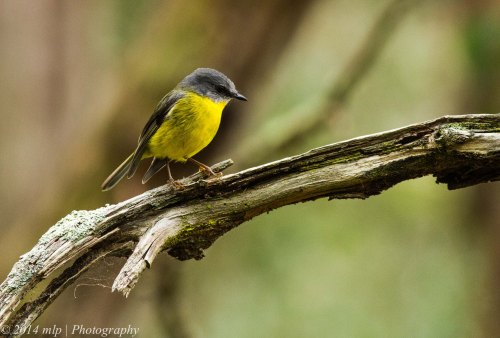 Eastern Yellow Robin, Greens Bush, Mornington Peninsula NP,  Victoria - 26 Oct, 2014