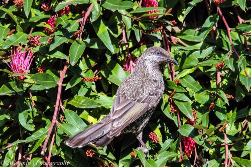 Little Wattlebird Elwood, Victoria - 3 Sept, 2014
