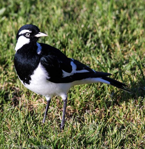 Male Magpie-Lark, Elwood, Vic - 3 Sep 2014