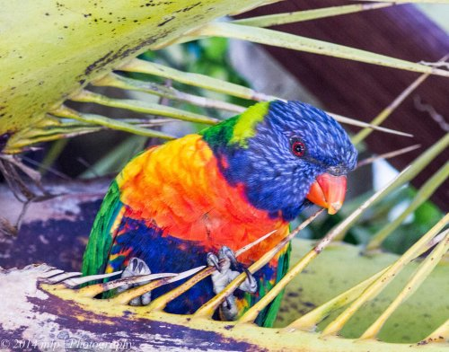 Rainbow Lorikeet, Elwood, Vic - 17 Oct 2014