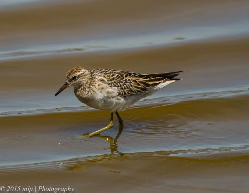 Sharp Tailed Sandpiper, Western Treatment Plant, Werribee - 19 Nov 2014