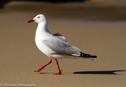 Silver Gull Bastian Pt Mallacoota Dec 2014