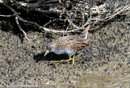 Spotted Crake, Western Treatment Plant, Weribee, Victoria - 22 Aug, 2014