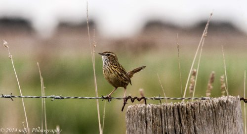 Striated Fieldwren, Western Treatment Plant, Weribee, Victoria - 29 May, 2014