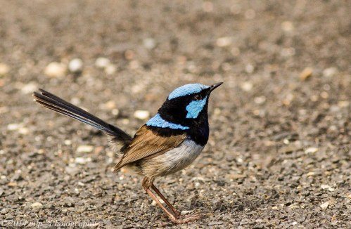 Superb Fairy Wren, Gypsy Point, Victoria -  14 Dec, 2014