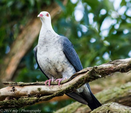 White Headed Pigeon, Karbeethong, 16 Dec, 2014