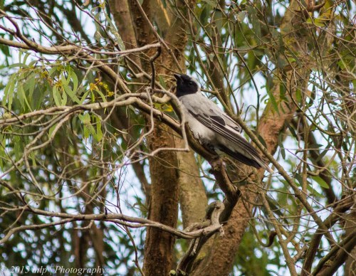 Black Faced Cuckoo-Shrike