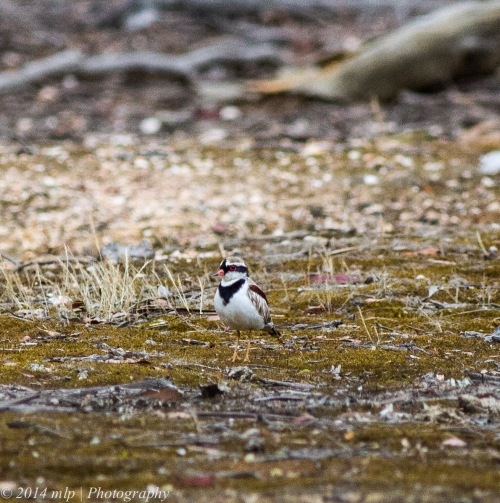 Black Fronted Dotteral