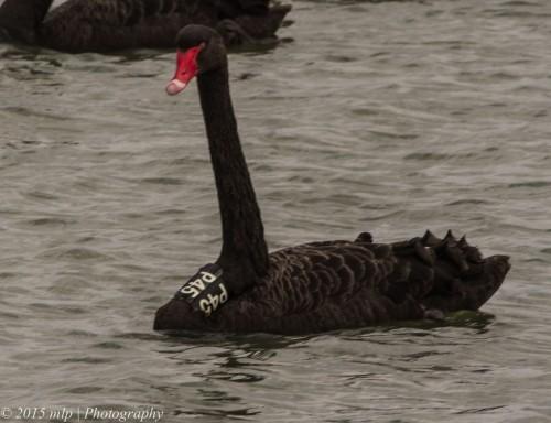 Black Swan P45