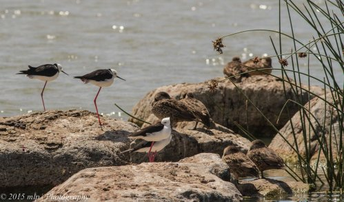 Black Winged Stilts - well named