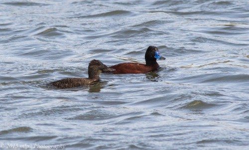 Blue Billed Duck - male with Blue Bill and the female. The female Blue Billed can often be mistaken for the rarer and endangered  Freckled duck.