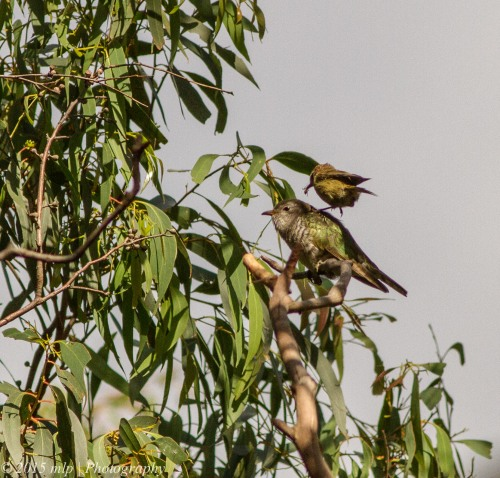 Brown Thornbill feeding a Shining Bronze Cuckoo