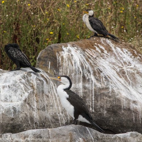 3 Shags on a Rock - Little Black, Little Pied and Pied Cormorants