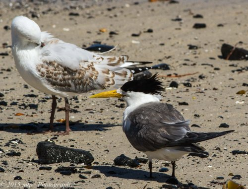 Crested Tern & Silver Gull