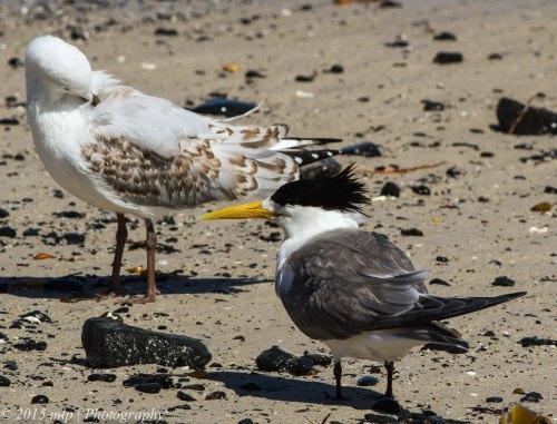 Crested Tern & Silver Gull