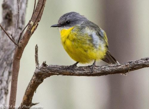 Eastern Yellow Robin II