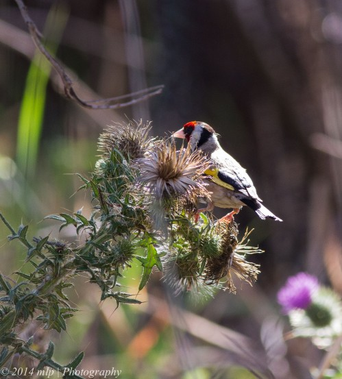 European Goldfinch II