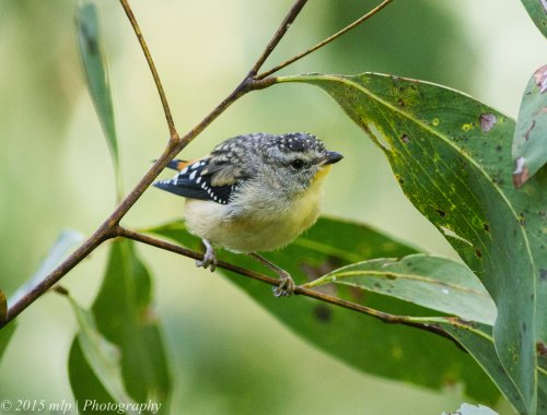 Female Spotted Pardalote II