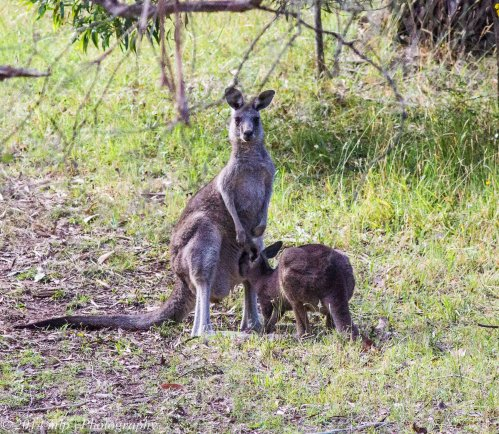Grey Roo mum and joey , Greens Bush, Vic 2 Jan 2014_