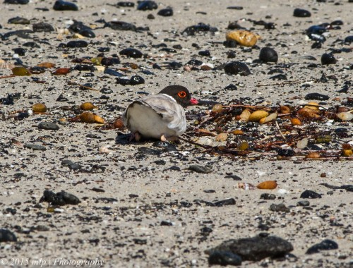 Hooded Plover II
