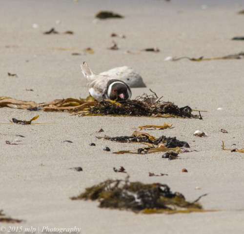 Hooded Plover - keeping low and facing into a string wind