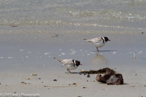 Hooded Plover pair