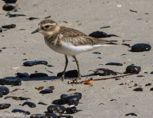Juvenile Hooded Plover