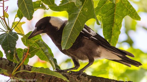 Juvenile Magpie, Elwood Flame Tree, Vic -  5 Jan 2014