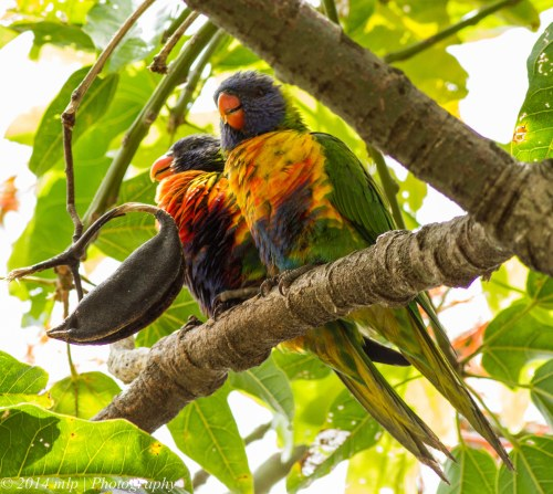 Juvenile Rainbow Lorikeets, Elwood Flame Tree, Vic -  5 Jan 2014