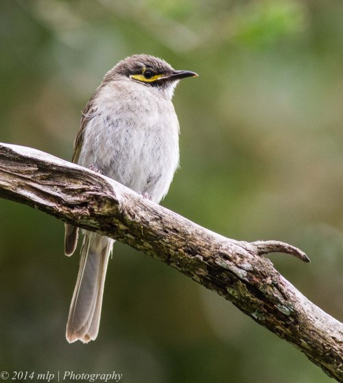 Juvenile Yellow Faced Honeyeater