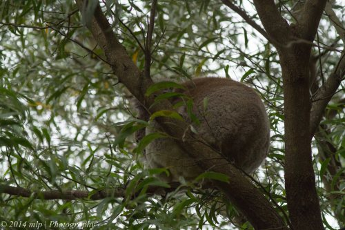 Koala , Greens Bush, Vic 1 Jan 2014_