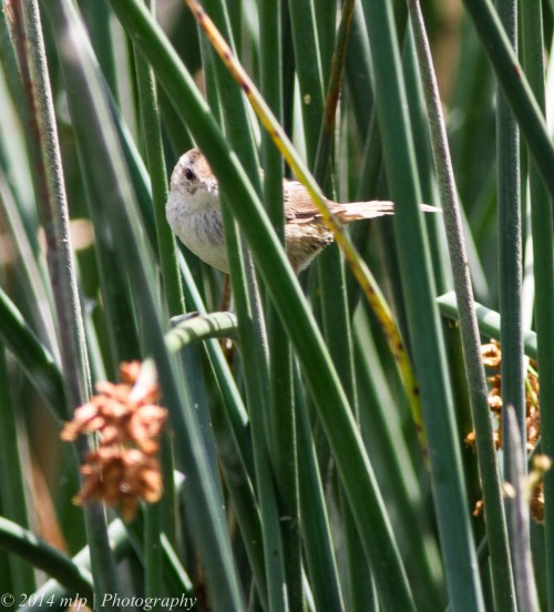 Little Grassbird II