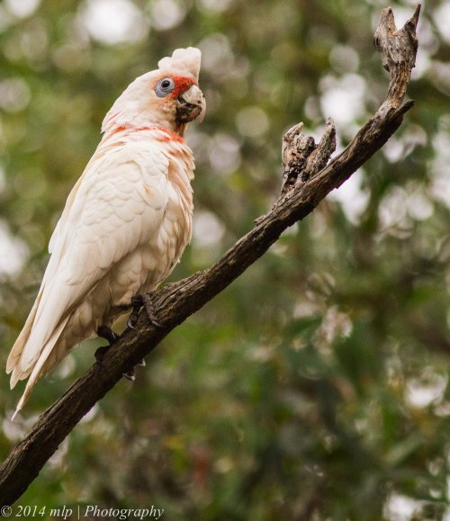 Long Billed Corella III