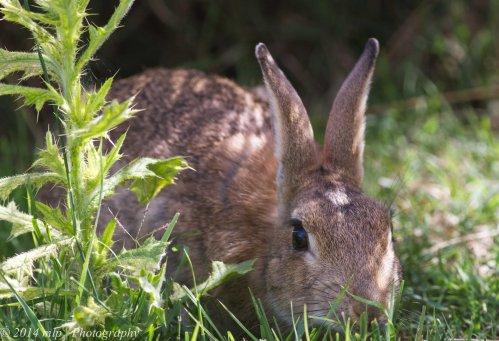 Pesky Rabbit