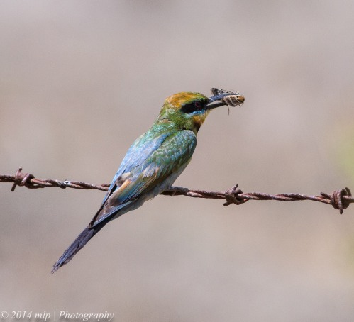 Rainbow Bee-eater II