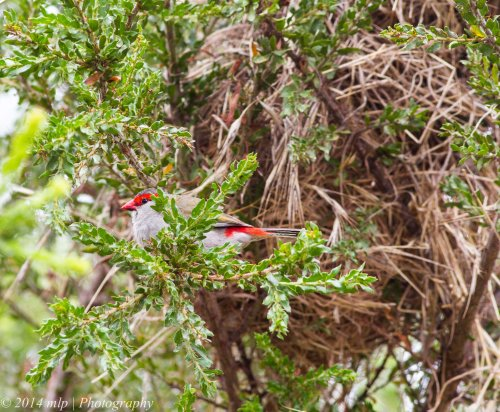 Red Browed Finch at the nest