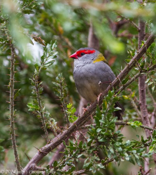 Red Browed Finch Lookout