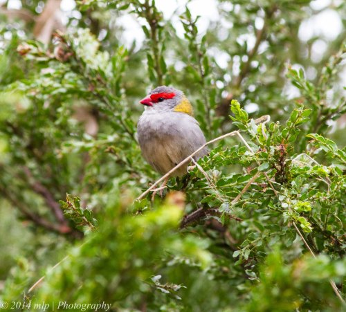 Red Browed Finch with a piece of nesting material checking that it is safe to return to the nest site