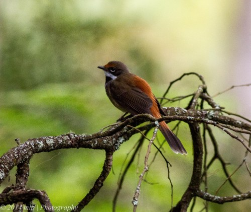 Rufous Fantail , Greens Bush, Vic 1 Jan 2014