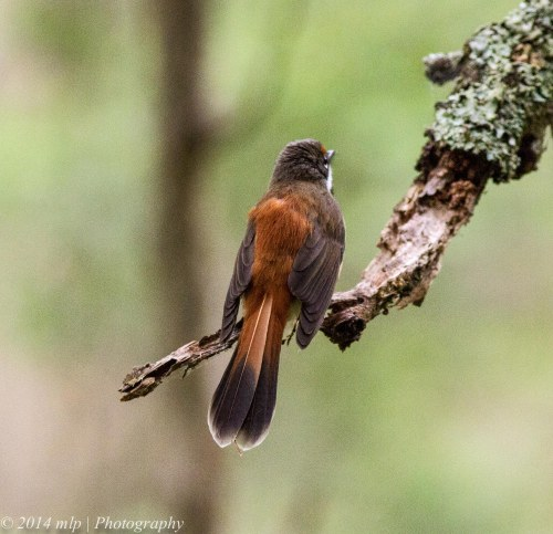 Rufous Fantail IV - showing the beautiful colouring on the back