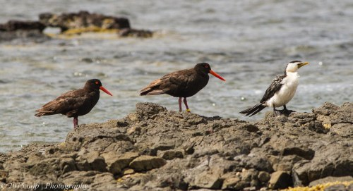 Sooty Oystercatchers and a Little Pied Cormorant