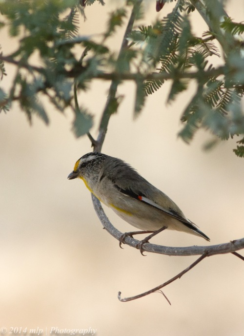 Striated Pardalote II