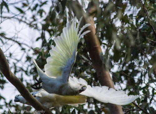 Sulphur Crested Cockatoos II