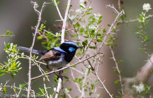 always a favourite to try and photograph  - Superb Fairy Wren, Greens Bush, Vic 1 Jan 2014