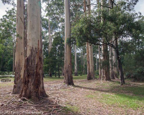 Young Vic Ash trees, Bunyip State Park Picnic grounds